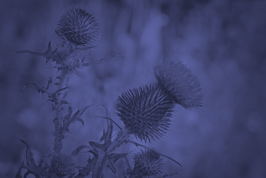Image of Thistle in Blue.png