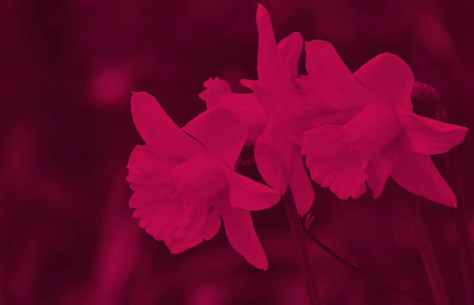 Image of Daffodil in Red.png